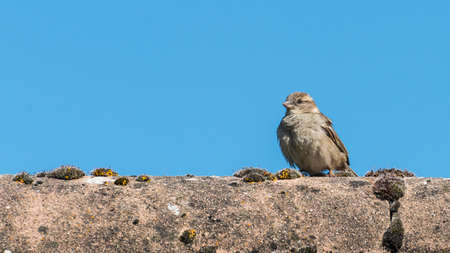 roof ridge: A shot of a juvenile house sparrow sitting on a rooftop. Stock Photo