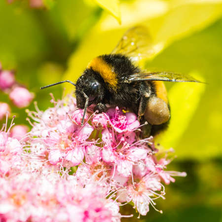 crawly: A bumblebee collects pollen from the pink blossom of a magic carpet bush.