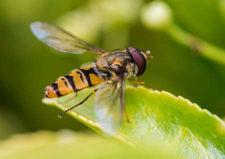 creepy crawly: A macro shot of a hoverfly sitting on a green leaf.