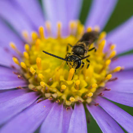 crawly: A macro shot of a small bee collecting pollen from a blue aster bloom.