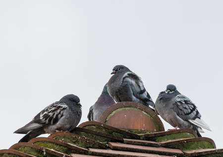 A shot of some feral pigeons sitting atop the roof of a house.