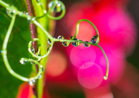A macro shot of raindrops clinging to a sweet pea tendril.