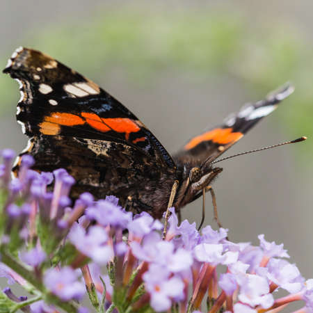 A macro shot of a red admiral butterfly feeding from a butterfly bush.