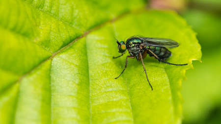 A macro shot of a green eyed fly sitting on a green leaf.