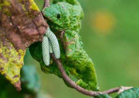 albero nocciolo: Un colpo di alcuni amenti nocciolo intrecciati.