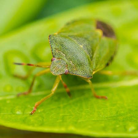 shieldbug: A macro shot of a green shield bug sitting on a green leaf.