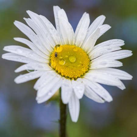 A macro shot of an ox eye daisy.