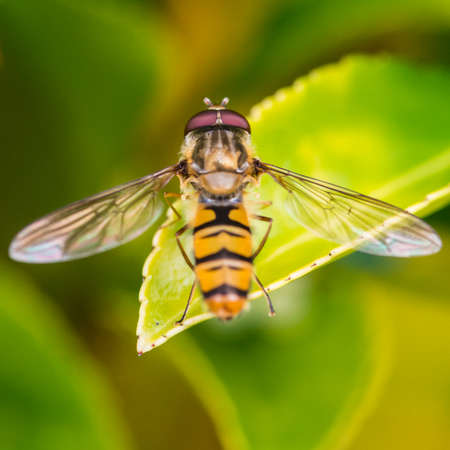A macro shot of a hoverfly sitting on a green leaf.