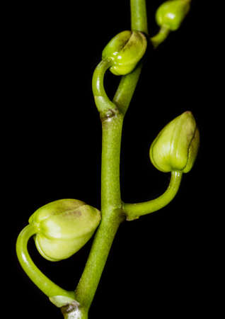 orchid house: A macro shot of the green flower stem and buds of a moth orchid against a black background.