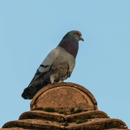 A shot of a feral pigeon sitting on a rooftop.