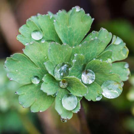 A macro shot of raindrops resting an an aquilegia leaf.