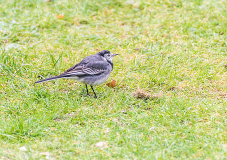 A shot of a pied wagtail standing on a lawn.