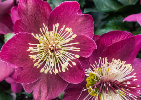 A macro shot of a pink hellebore bloom. Stock Photo