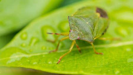 A macro shot of a green shield bug sitting on a green leaf.