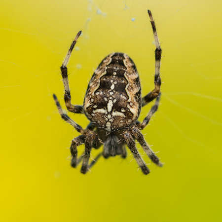 orb weaver: A macro shot of a garden spider in its web.