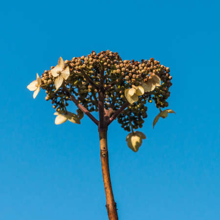 A macro shot of a lacecap hydrangea flower head against a blue sky.