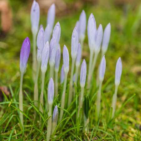 A shot of a group of blue crocus blooms growing through a lawn. Stock Photo