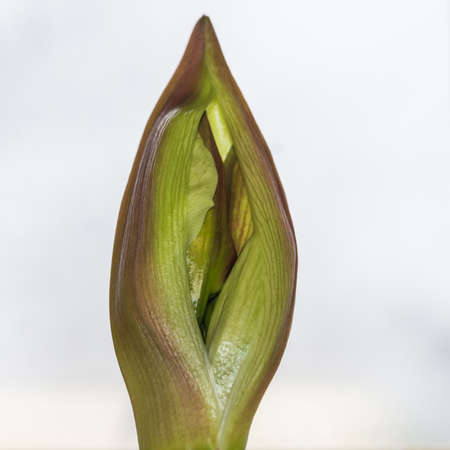 A macro shot of the flower bud of an amaryllis minerva plant.