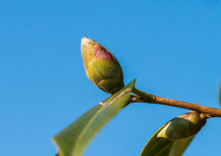 A macro shot of a camellia flower bud against a blue sky. Stock Photo