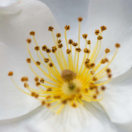 A macro shot of the centre of a white wild rose.