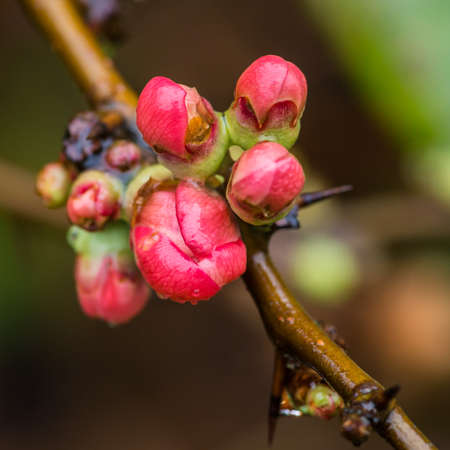 A macro shot of a cluster of pink quince bush flower buds. Stock Photo