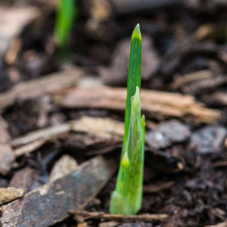 A macro shot of iris reticulata harmony emerging.