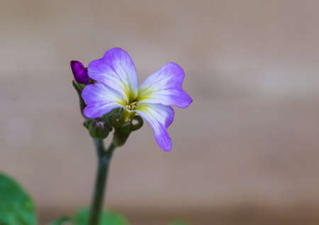 A macro shot of a virginia stock bloom.
