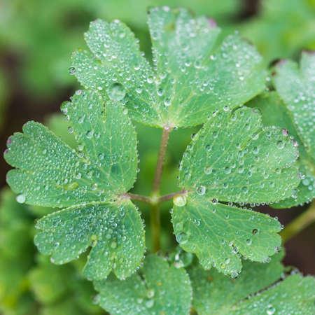A macro shot of raindrops resting on an aquilegia leaf.