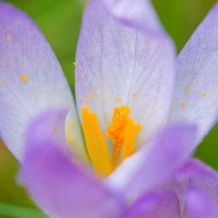 A macro shot of a purple crocus opening up. Stock Photo