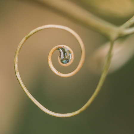 A macro shot of the spiralling tendril of a sweet pea plant. Stock Photo