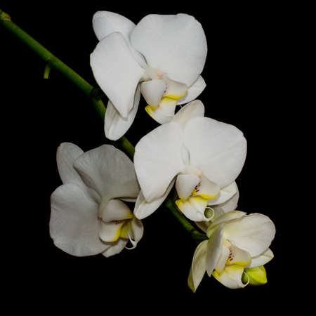 A macro shot of a moth orchid bloom.