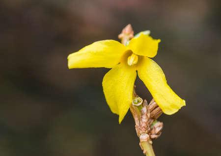 A macro shot of a forsythia bloom.