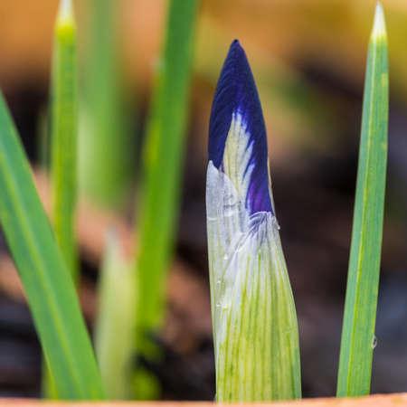 reticulata: A macro shot of an iris reticulata harmony flower bud emerging.