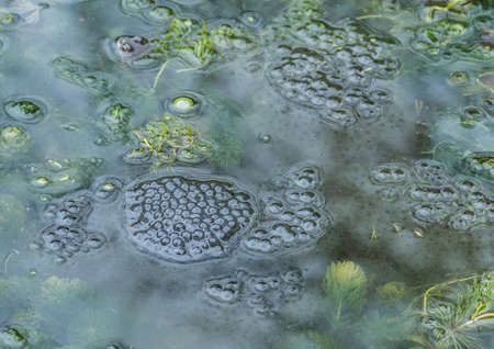 A shot of some frogspawn lying in a garden pond. Stock Photo