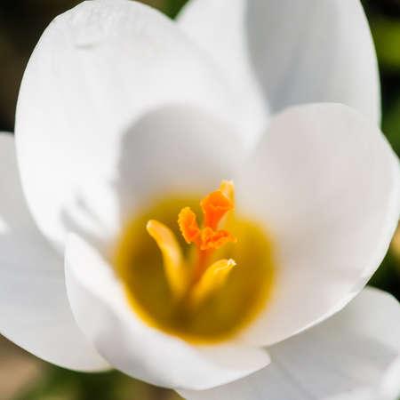 ard: A macro shot of a white crocus Ard Schenk bloom.