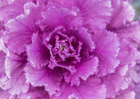 A macro shot of the pink   purple leaves of an ornamental kale plant.