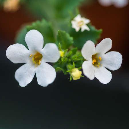 Bacopa snowtopia 工場から白い花のマクロ撮影。 写真素材