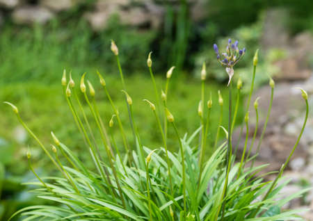 A shot of lots of agapanthus flower buds eminating from one plant.
