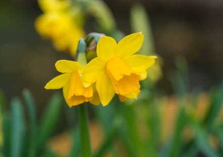 A macro shot of some daffodil tete-a-tete blooms.