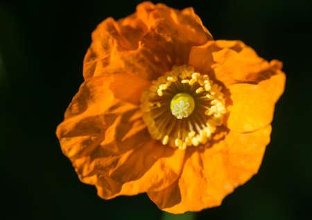 A macro shot of an orange welsh poppy.