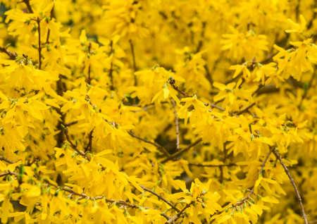 A shot of a mass of yellow forsythia bush blossom.