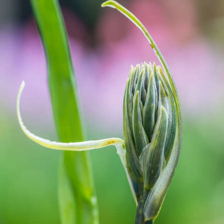 A macro shot of a camassia flower bud.
