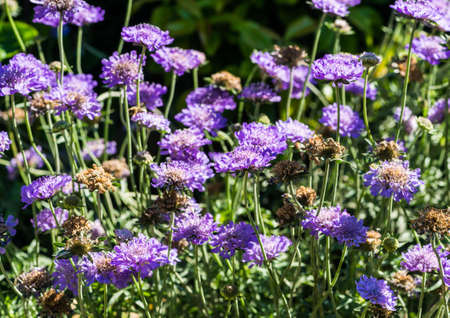 A shot of some scabious blooms.