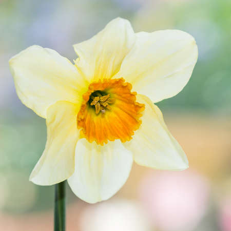 A macro shot of a white daffodil bloom with an orange centre.