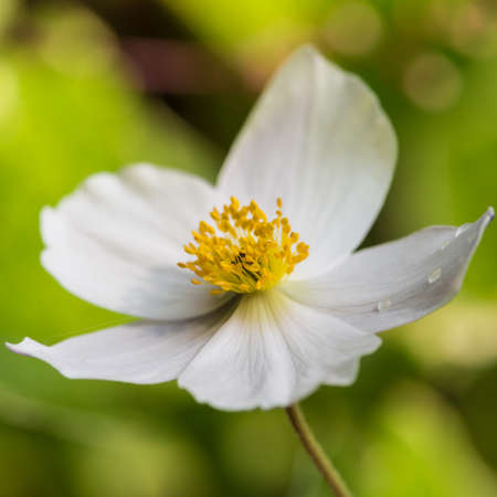 白いアネモネの野生の白鳥花のマクロ撮影。 写真素材
