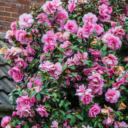 A shot of a camellia bush in full bloom.
