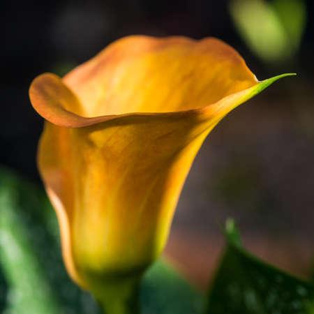 arum: A macro shot of an orange calla lily bloom.