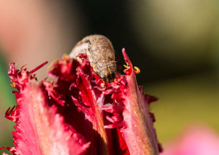 A macro shot of a caterpillar munching on a red tulip. Stock Photo