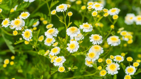 A macro shot of some feverfew blooms.