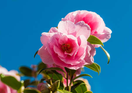 A shot of the pink flowers of a camellia bush against a blue sky.